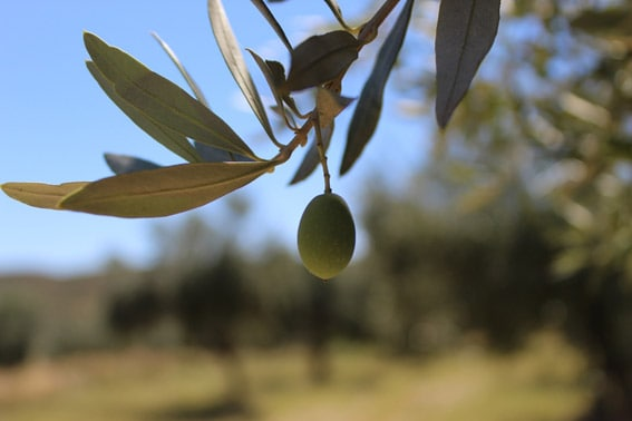 Empeltre olive variety in the fields of Mis Raíces, in the Bajo Aragón