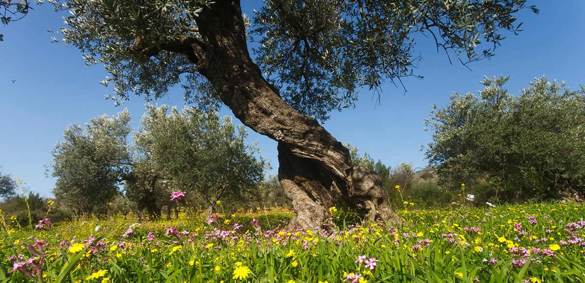 LAVI – OLIVE OIL FROM THE GALILEE